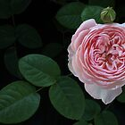 English Rose Collection by Alyson Fennell