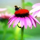 Cone Flower With Bee by kkphoto1