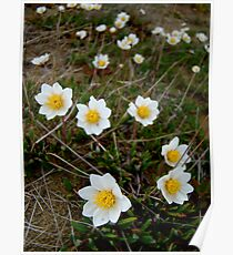 Eight-Petaled Dryas Poster