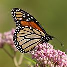 Monarch on Milkweed by Gregg Williams