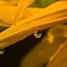 Drops of Gold by Martyn Robertshaw