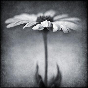 B&W daisy by BarbaraCorvino
