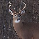 Looking for love - White-tailed buck by Jim Cumming