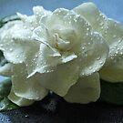 Gardenia on Black Acrylic  by Lynn Gedeon
