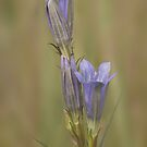 Marsh gentian by Minne