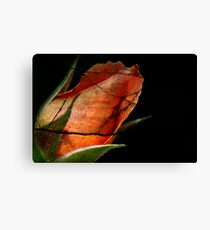 Cracked rose Canvas Print