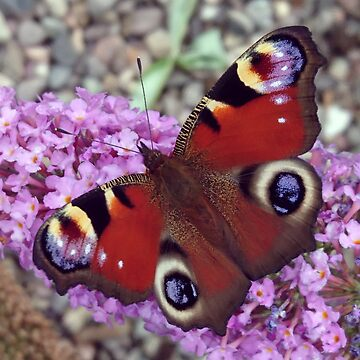 European Peacock Butterfly on Buddleia - Aglais Io by bettyretro