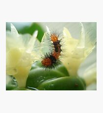Little Chewi - Orange and black caterpillar Photographic Print