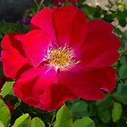 Bright Red Rose by Vickie Emms