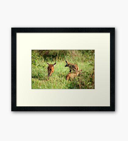 Bat-eared Fox - OTOCYON MEGALOTIS Framed Print