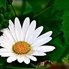Raindrop Daisy by autumnwind