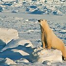 Polar Bear Pushups by Owed To Nature