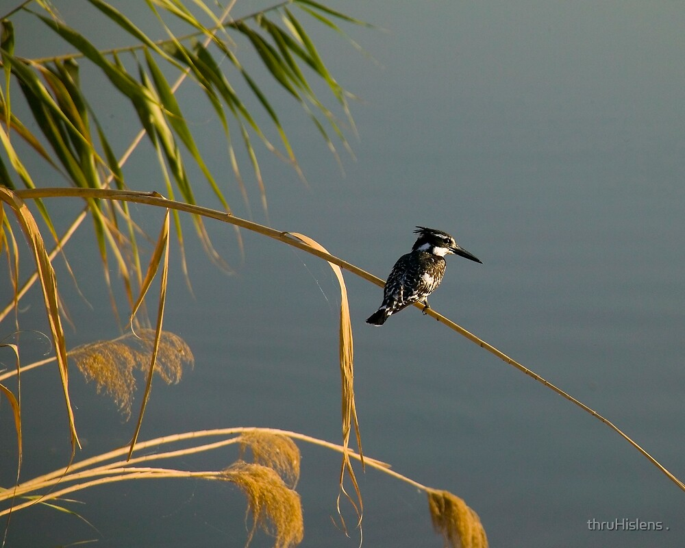Pied Fisher In Iraq by thruHislens .