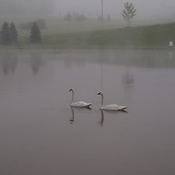 Swans by JudyGayle