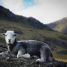 Langdale Sheep by RamblingTog
