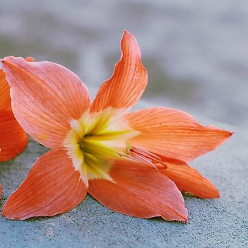 tiger lily by sleepwalker