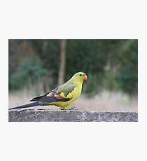The Regent Parrot Photographic Print