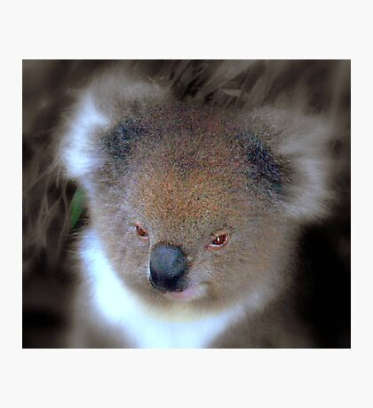Koala © Photographic Print