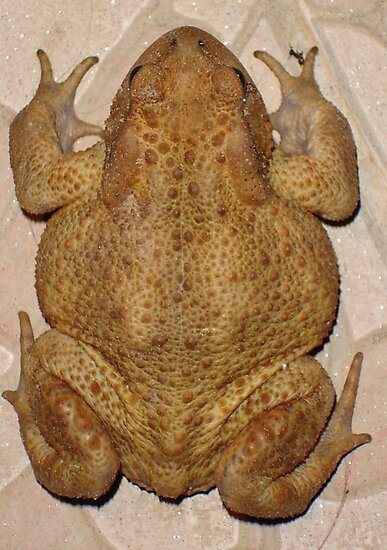 Overhead Anatomy Of A Bufo Bufo Toad Photographic Prints By Taiche