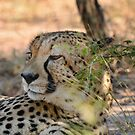 Cheeta comfortably at rest in South Africa by Seesee