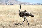 Female Ostrich,  Serengeti, Tanzania  by Carole-Anne