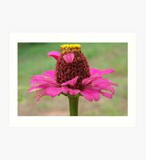 pink zinna Art Print