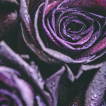 Macro photography of purple - neon roses with raindrops. Fantasy and magic concept. Selective focus. by Edalin