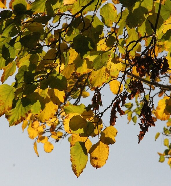 Golden leaves by agnessa38