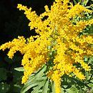 Goldenrod by zahnartz