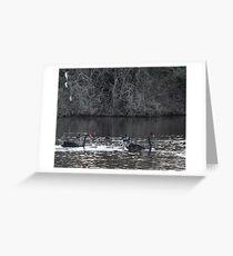 Two swans, three cygnets on Taree billabong Greeting Card