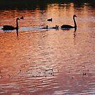 Two swans, three cygnets on Golden Billabong by Graham Mewburn