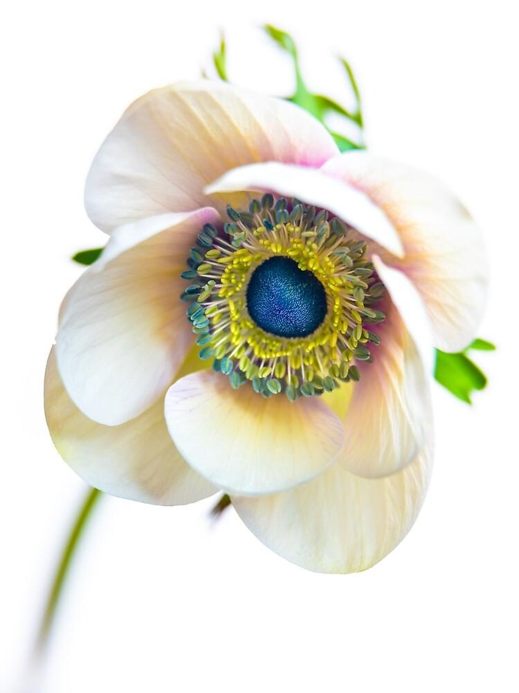 A timorous anemone by alan shapiro