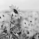 Sunflower by willgudgeon