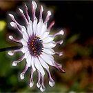 OSTEOSPERMUM – Purple African Daisy by Magriet Meintjes