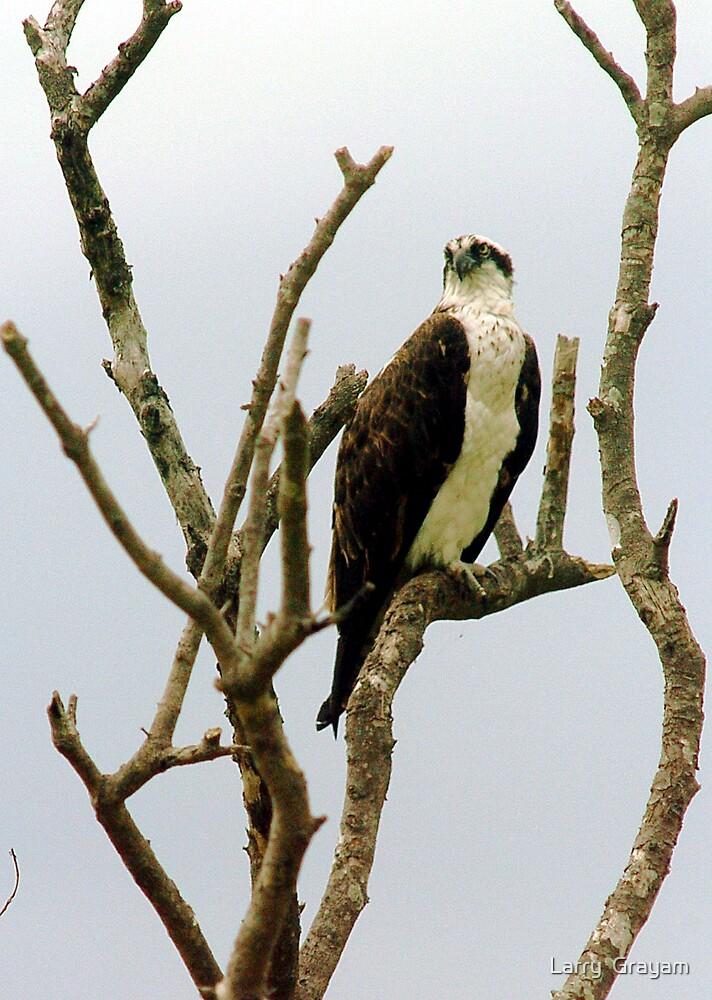 Osprey in tree by Larry  Grayam