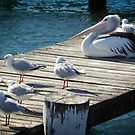 Pelican with seagulls by Fran Woods