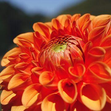 Dahlia closeup by gavila