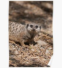 meerkat in the forest Poster