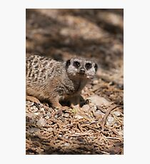meerkat in the forest Photographic Print