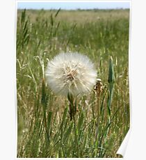 Yellow Goat's Beard in Seed Poster