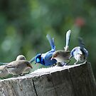 Blue Wrens dining out by adbetron