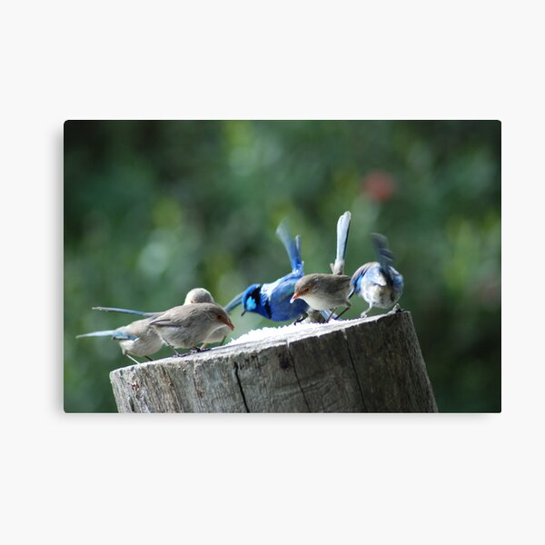 Blue Wrens dining out Canvas Print