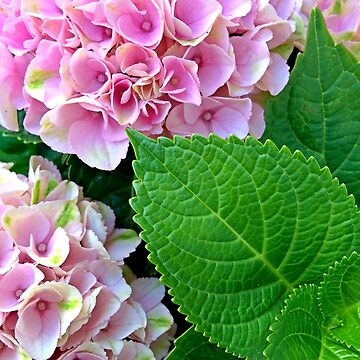 Pink Hydrangea Floral by SweetDominique