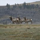 Cow Elk Running in the Rain by Donna Ridgway