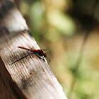 Dragonfly on the Split Rail Fence by Steven Newton