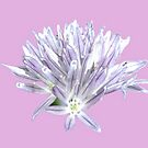 Flower | Floral | Chive Flower on Pink | Nadia Bonello by Nadia Bonello