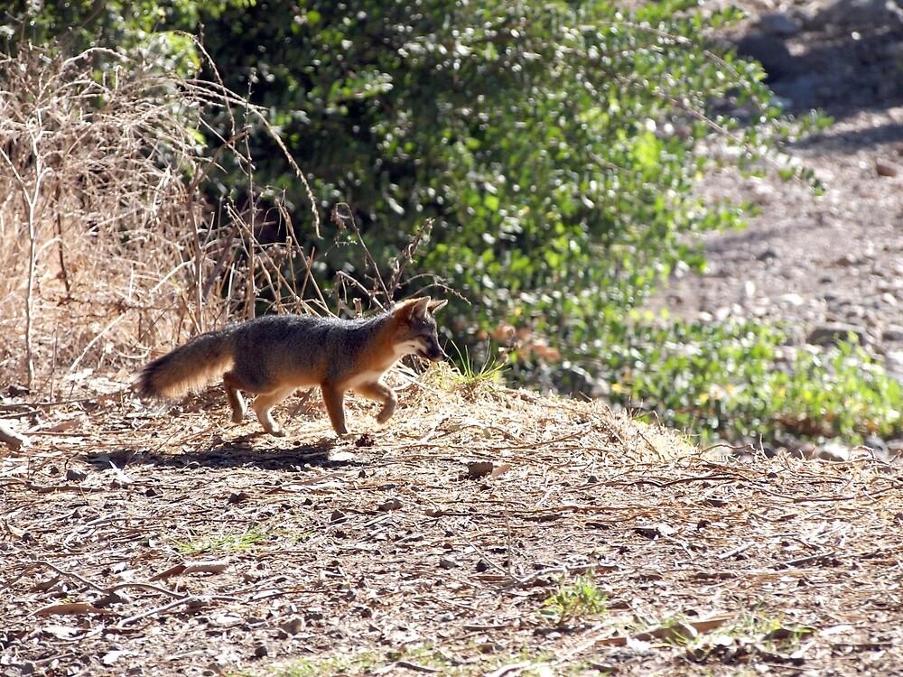 Channel Island Fox (Urocyon littoralis), Santa Cruz Island, California by Douglas E.  Welch