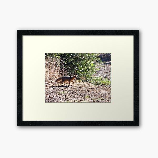 Channel Island Fox (Urocyon littoralis), Santa Cruz Island, California Framed Art Print