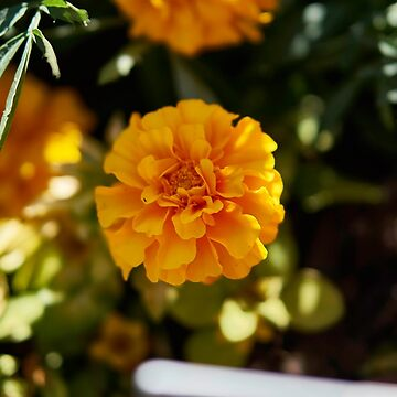 French Marigold by MrHerr