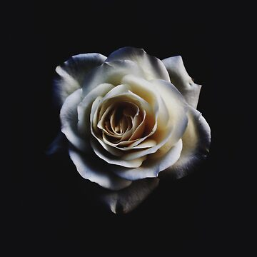 Classic white rose by peggieprints